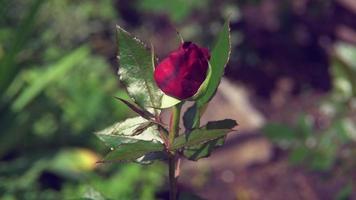 botão de rosa vermelha no jardim balança suavemente o vento
