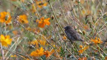 schuppiger Munia-Vogel, der ein Nickerchen macht