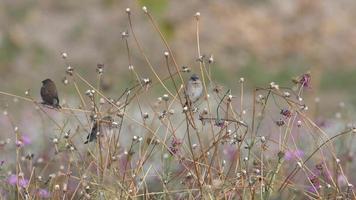 Pájaros munia de pecho escamoso descansando sobre los brotes de flores secas video