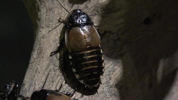 Kakerlaken oder ähnliche Insekten video