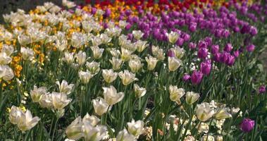 tulipas coloridas em um parque de Londres na primavera video