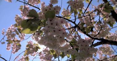 flor de cerejeira retroiluminada em um parque de Londres video