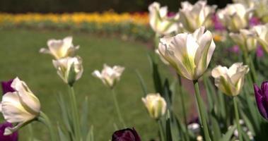 close-up de tulipas abertas em um parque de Londres na primavera video