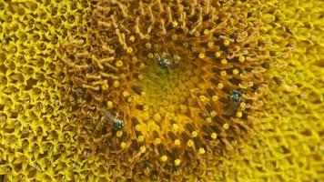 le piccole api raccolgono il nettare dal girasole