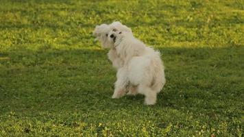 Dos perros felices jugando en el parque, West Highland White