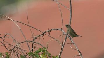 uccello munia dal petto squamoso che riposa sul ramo di un albero