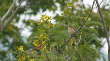 streak-eared bulbul rustend op de boom