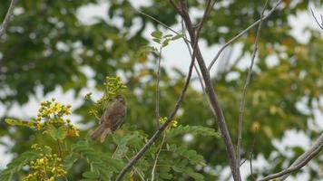 bulbul dalle orecchie striate che riposa sull'albero