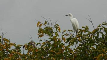 Great egret moving on the tree shoot