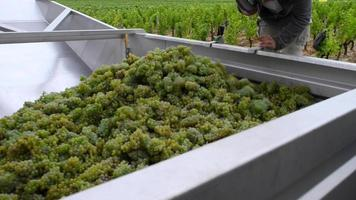 uva Sauvignon raccolta in vigna bordolese time-lapse