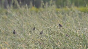 pássaros munia de peito escamoso em broto de crotalária video