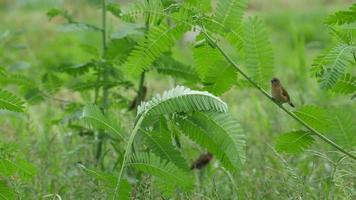 pássaro munia de peito escamoso ficando no galho da árvore video