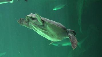 acuario con tortuga marina video