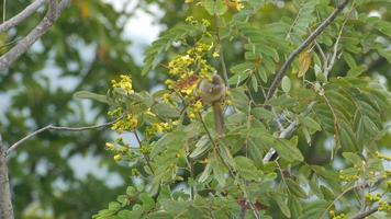 Streifenohrbulbul, der Blume isst