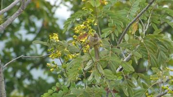 Bulbul de orejas rayadas comiendo flor video
