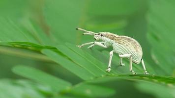 Schnauzenkäfer bewegt sich auf dem kleinen Blatt video