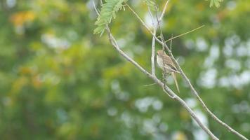 Averla marrone guardandosi intorno sull'albero