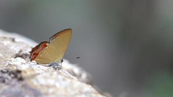 gossamer-winged butterfly drinking mineral from rock