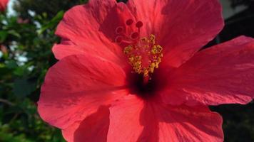 close up de flor de hibisco rosa video