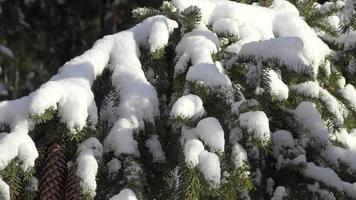 Kiefer mit Schnee bedeckt video