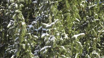 Tannenbaum mit Schnee bedeckt video