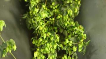 lúpulo recién cosechado en proceso video