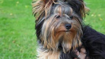 retrato de yorkshire terrier