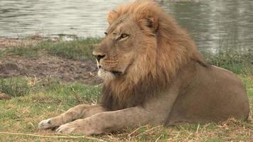 retrato de leão com juba loira video
