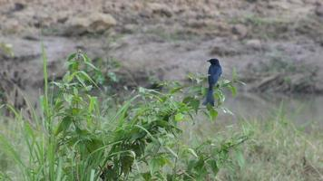 pássaro drongo preto está descansando no mato video