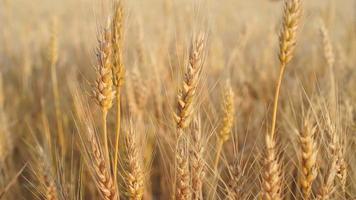 blé dans le vent