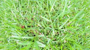 gros plan herbe pelouse 4k
