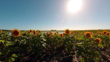 Sunflowers Field Crop UHD 4K