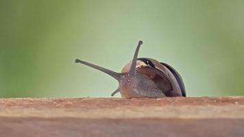 Medium Shot of a White Lipped Snail video