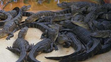 USA journée d'été ferme alligator vue rapprochée 4k Floride