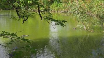 USA été jour lumière floride célèbre étang de ferme d'alligator 4k
