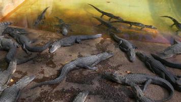USA journée d'été alligator farm relax place 4k key west florida