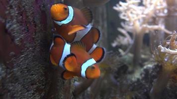peixe palhaço no aquário