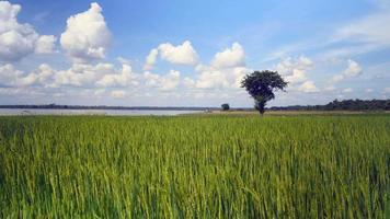 vento soprando sobre arrozais verdes video