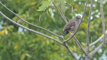 myna comune che riposa sull'albero