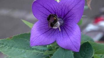 bumble bee op paarse bloem
