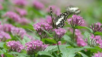 Papillon machaon buvant le nectar d'une fleur