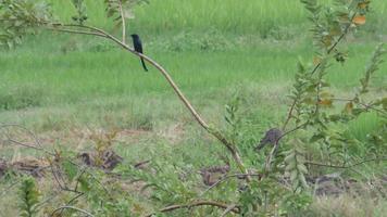 colomba maculata e drongo nero su albero di guava