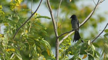 drongo negro limpando as asas video