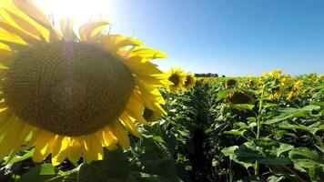 schöne Nahaufnahme Sonnenblumen Feld Ernte uhd 4k