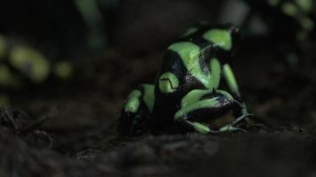 kleine grüne und schwarze Frösche oder Kröten