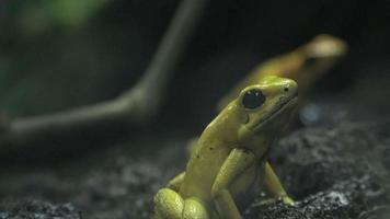 kleiner gelber Frosch oder Kröte