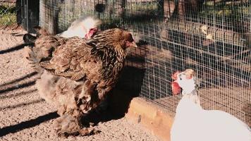 alba sul pollaio