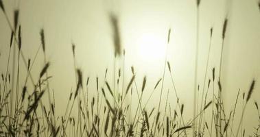 campo de trigo, movimiento en el viento video