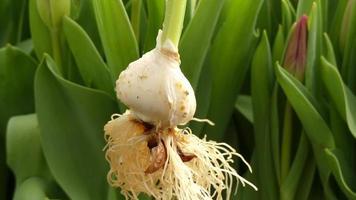 granja de tulipanes, tulip bilb video