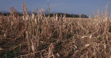 Plano en movimiento de campos de maíz devastados por la sequía y el granizo
